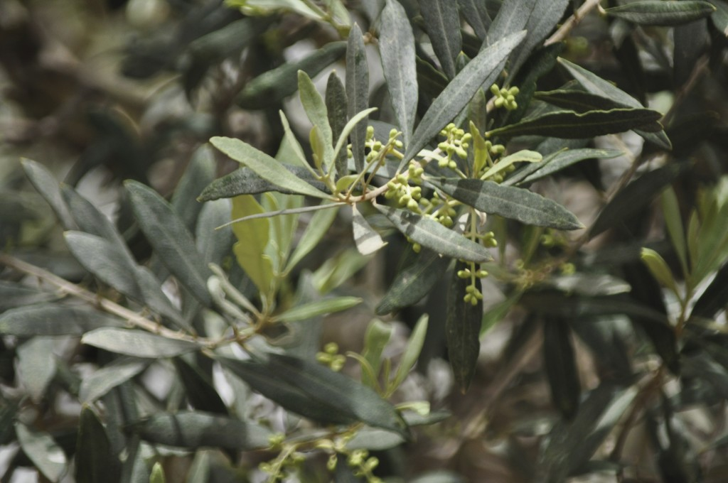 Even being at an estimated age of over 3,000 years, these trees still come into bloom, bearing olives each year.
